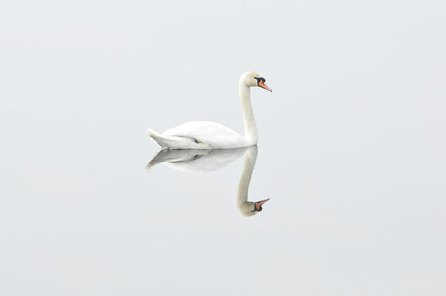 A swan swimming with it's image mirrored on the water.